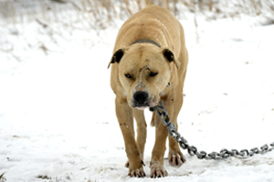 Tan pit bull standing in the snow attached to heavy chain