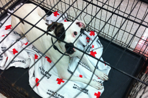 white dog laying down on Red Cross blanket