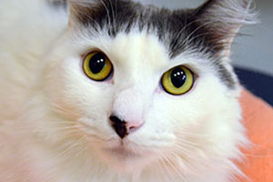 White and black cat with green eyes