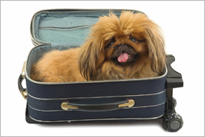 Pekingese sitting in open suitcase