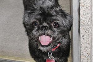 Grey dog wearing red collar