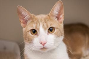 Light orange and white cat