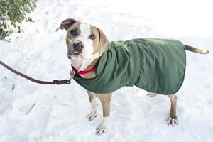 Tan and white pit bull wearing winter jacket