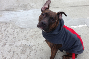 Pit bull with bouncy ears wearing a jacket outside