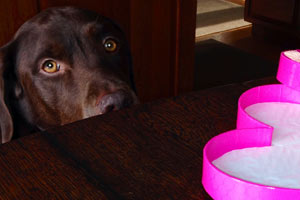 Keeping Your Dog Away from Your Valentine's Chocolates