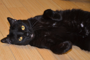 Black cat laying on her back