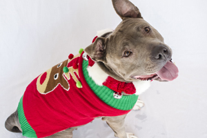 Grey pit bull wearing Christmas sweater