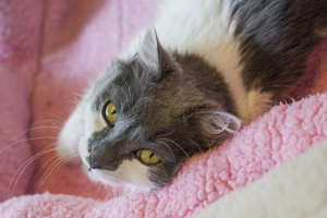 Grey and white cat laying on pink bed