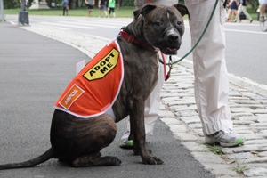 brindle pit bull wearing aspca adopt me vest while on a walk