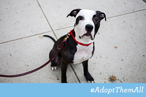 Black and white pit bull mix wearing red collar