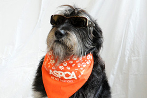 Dog wearing sunglasses and orange ASPCA bandanna