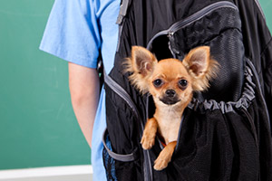 Chihuahua peeking out of a boy's backpack