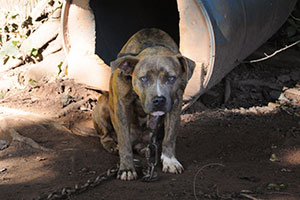 Breaking News: ASPCA Rescues 367 Dogs in Multi-State Dog Fighting Bust