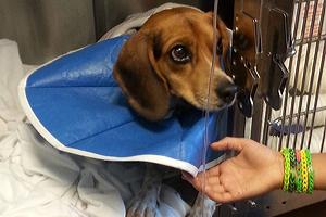 Beagle puppy at hospital
