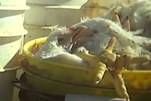 Breaking Video: Live Chickens on Factory Farm Buried with the Dead; Others Barely able to Stand, Living in Filth