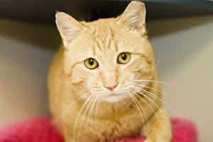 Large orange cat with yellow eyes