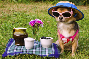 Dog wearing sunglasses and hat at a picnic