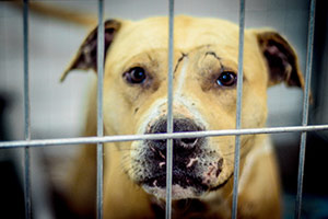 Update: Charges Filed in 3-State Dog Fighting Raid as Dogs Receive Much-Needed Care