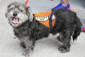 Small grey shih tzu wearing adopt me vest