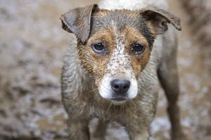 muddy jack russell terrier