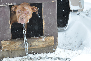 dog fighting vitim attached to chain looks out of dog house