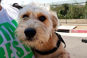 close up of small tan scruffy dog