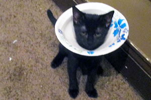 Cat with paper plate collar