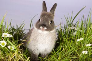 grey and white rabbit