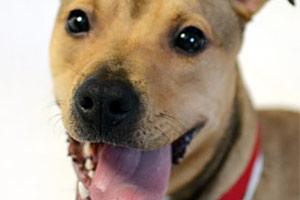 Tan dog with tongue out looking at camera