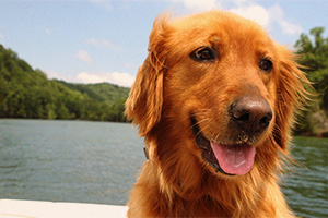 Golden retriever by the water