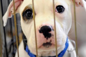 White puppy wearing blue collar in a crate