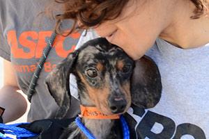 Dapple dachsund being held by ASPCA rehab center worker