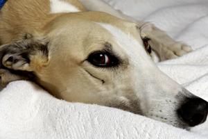 Sad greyhound