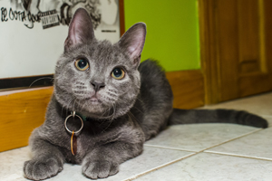Small gray cat laying down on kitchen floor