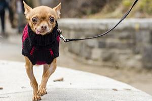 Chihuahua wearing sweater on a walk
