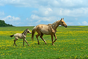 Two horses running in a grassy meadow