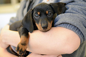Black and tan dachshund puppy being held