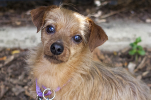 brown and tan terrier wearing purple collar