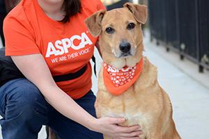 Dog wearing orange bananna sitting next to woman in ASPCA shirt