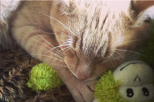 Orange cat takes a nap with a green stuffed monkey