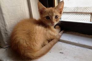 Tiny orange kitten