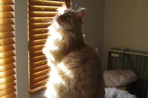 Fluffy orange cat looking towards sunlight