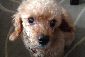 Close up of small apricot poodle