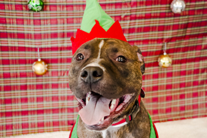 Brindle pit bull wearing christmas hat