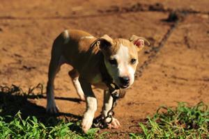 puppy wearing heavy chain collar