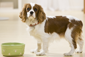 cavalier king charles spaniel next to food bowl