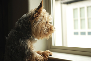 Sad Yorkie looks out window