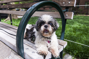 Shih tzu laying on park bench