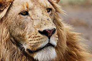 Illinois Considering a Ban on…Lion Meat?!