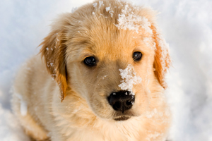 Golden Retriever puppy playing in snow